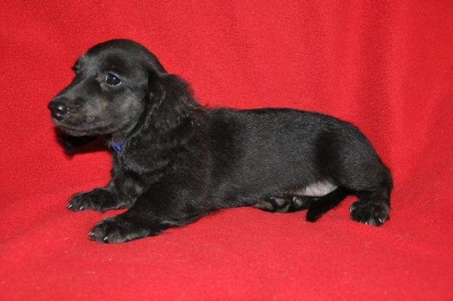 Black and cream dachshund