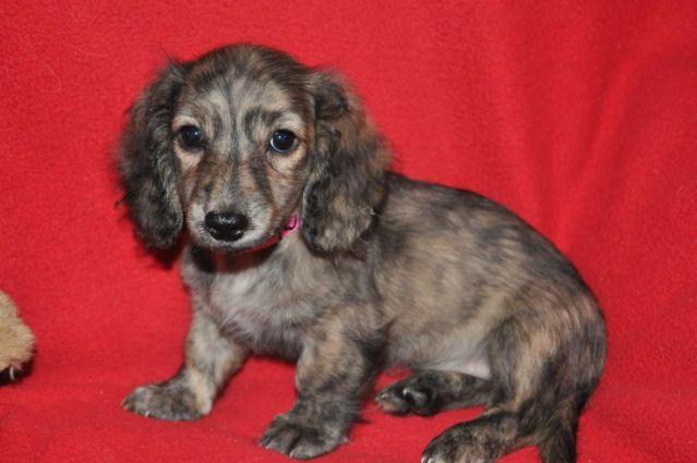 AKC TRUE ENGLISH CREAM/BRINDLE MINI DACHSHUND, Female, OLIVIA for Sale ...