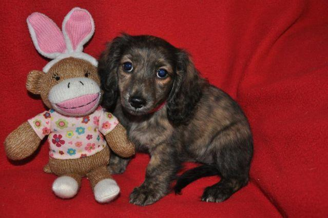 AKC TRUE ENGLISH CREAM/BRINDLE MINIATURE DACHSHUND, Female, FRANCIE ...