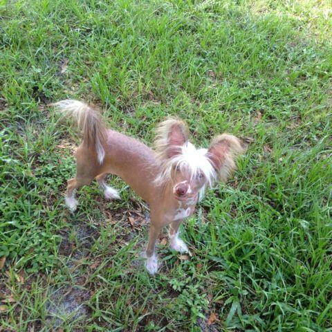 AKC True Hairless Chinese Crested Puppy
