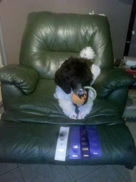 AKC & UKC Registered standard Parti poodle