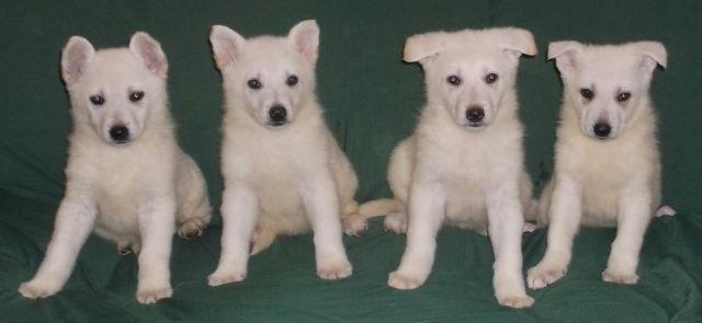 Akcukc White German Shepherd Puppies For Sale In Oldtown Maryland