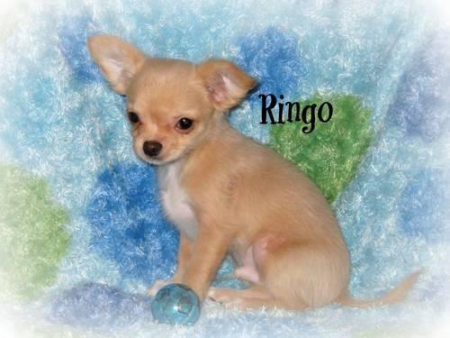 chihuahua puppies michigan akc valentines chihuahua puppies long coats for sale in 4506