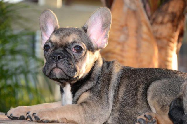 sable french bulldog akc very rare dna tested ay at male red sable tri french 9771