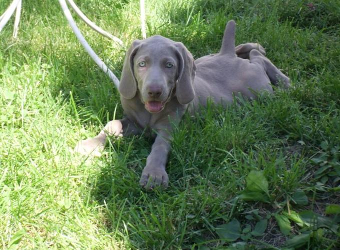 Akc Weimaraner Girl Puppies For Sale In Bloomington Illinois