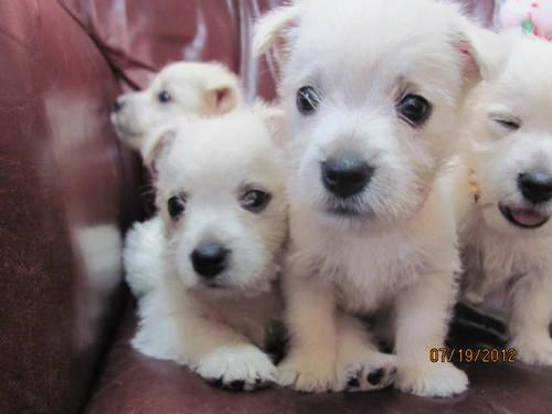 AKC West Highland White Terriers ~ Westie ~ Puppies for ...