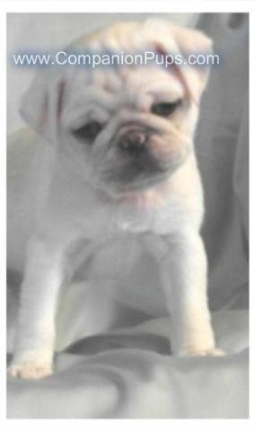 AKC WHITE and SILVER WHITE PUG PUPPIES! Ready to go