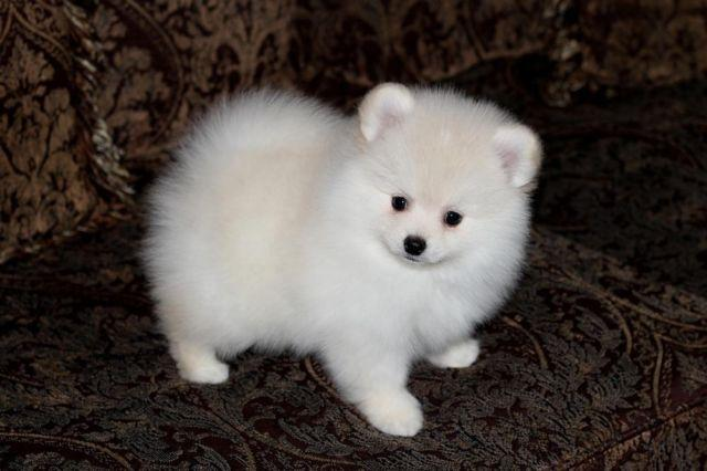 Pomeranian For Sale In Sacramento California Classifieds Buy And