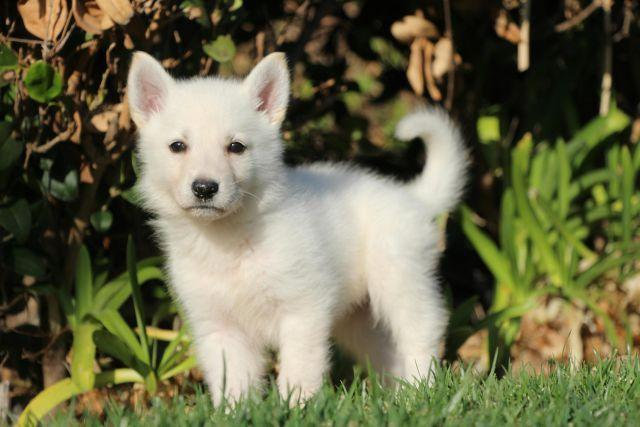 Akc White German Shepherd Puppies For Sale In Fontana