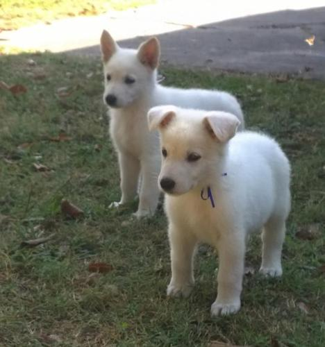 Puppies for sale in kansas city area