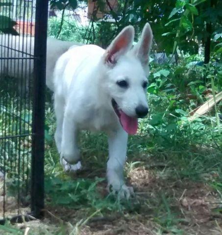 Akc White German Shepherd Puppies For Sale In San Antonio Texas