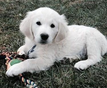 Dogs For Sale Dallas Oregon