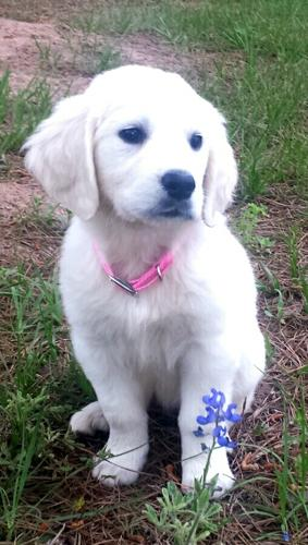 AKC White Golden Retriver Pups