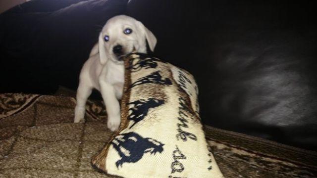 White labrador puppies for sale white labrador puppies are mikoni
