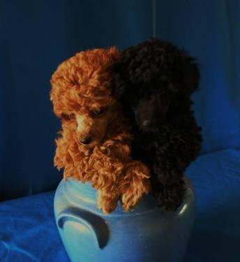 AKC White Toy poodle