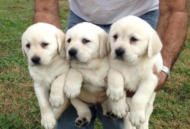 AKC White / white gold Labrador puppies $600