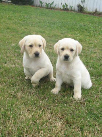 AKC White/White Gold Labrador Retriever Puppies -new