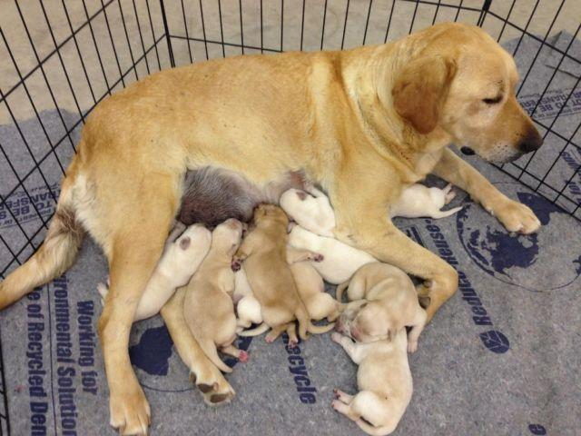 Akc Whiteyellow Labrador Puppies Lab Puppy For Sale In