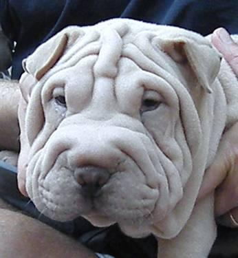 Shar Pei Pets And Animals For In The Usa Puppy