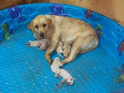 Pictures of American Yellow Lab Puppies - #rock-cafe