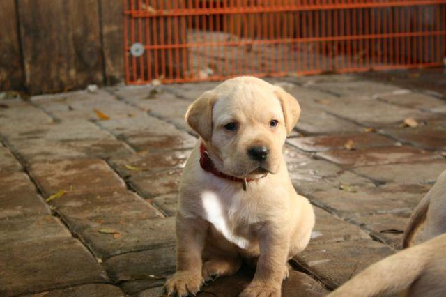 Akc Yellow Lab Puppies For Sale In Sarasota Florida Classified