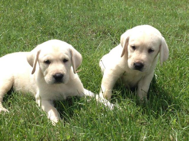 Silver Lab Puppies For Sale In Florida Classifieds Buy And Sell In