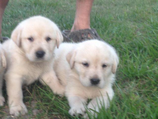 White Lab Pups White Akc Labrador Puppies Akc Yellow Lab ...