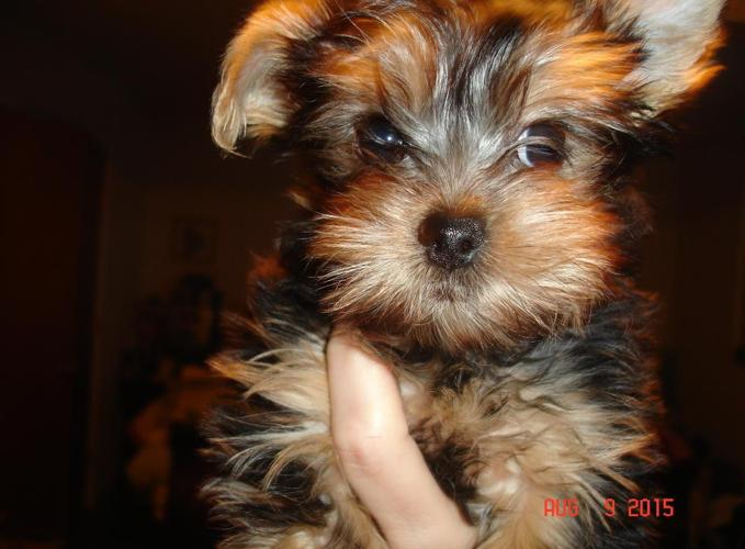 yorkie breeders in colorado akc yorkie puppies 2 males 1 female for sale in colorado 8502