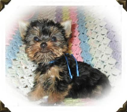 Akc Yorkie Puppies For Sale In Guernsey Ohio Classified