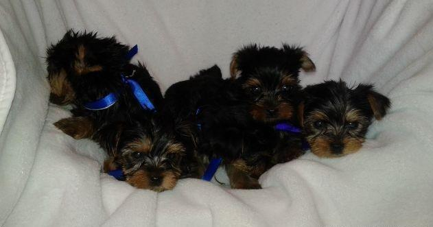 AKC Yorkie Puppies Great Personality Available