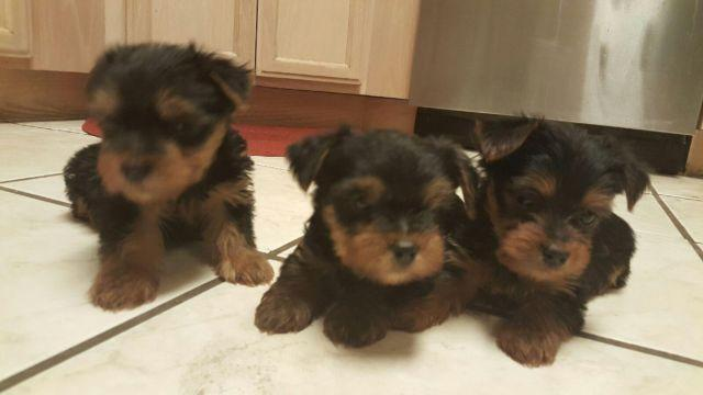 Akc Yorkie Puppies Ready For Rehoming For Sale In El Paso