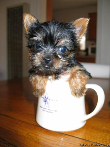 AkC Yorkie Puppies Tea Cup & Toy