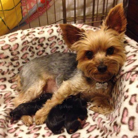 akc yorkie puppies with teddy bear faces 2 females left for sale