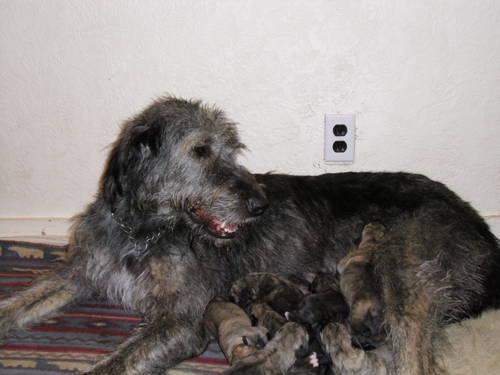 Akc Yorkie Puppy Trade 4 Irish Wolfhound For Sale In
