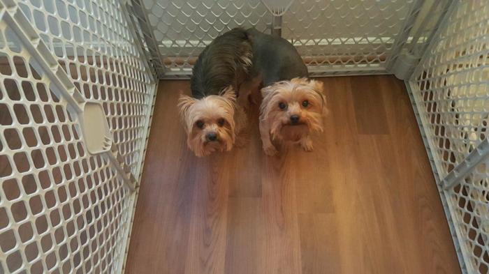 Parti Yorkie Pets And Animals For Sale In The Usa Puppy And Kitten
