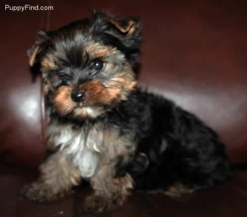 Yorkie Poo For Sale In Georgia Classifieds Buy And Sell In Georgia