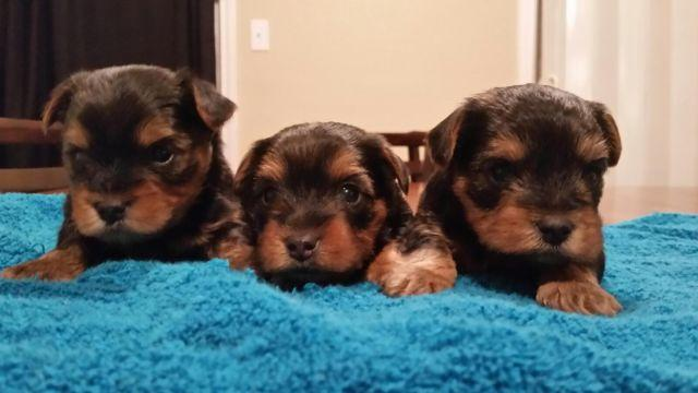 Akc Yorkie Yorkshire Terrier Puppies For Sale For Sale In