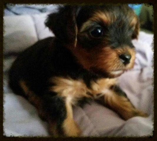 AKC Yorkies Puppies