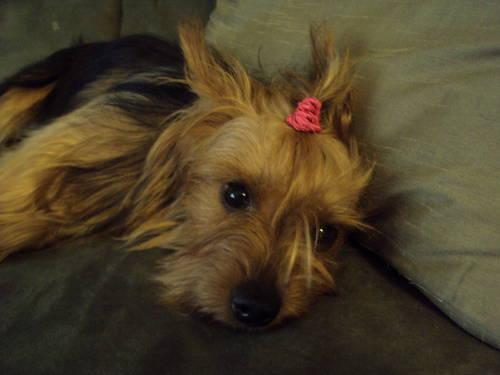 AKC Yorkshire Terrier-11 month old female