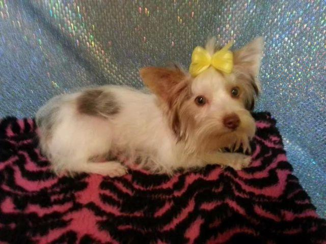 Akc Yorkshire terrier adult female just passed 1st heat
