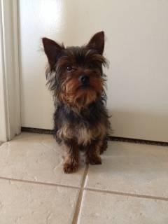 Akc Yorkshire Terrier Male Puppy For Adoption 5 Months Old For