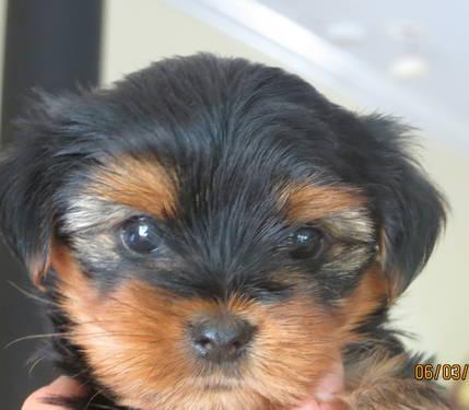 Akc Yorkshire Terrier Puppies 8 Weeks Old For Sale In