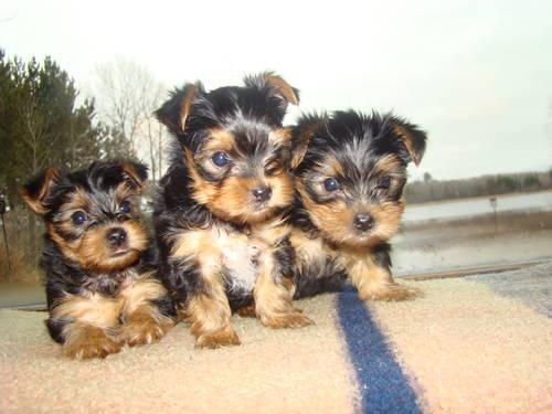 yorkshire terrier for sale mn akc yorkshire terrier puppies for sale in duluth 4669
