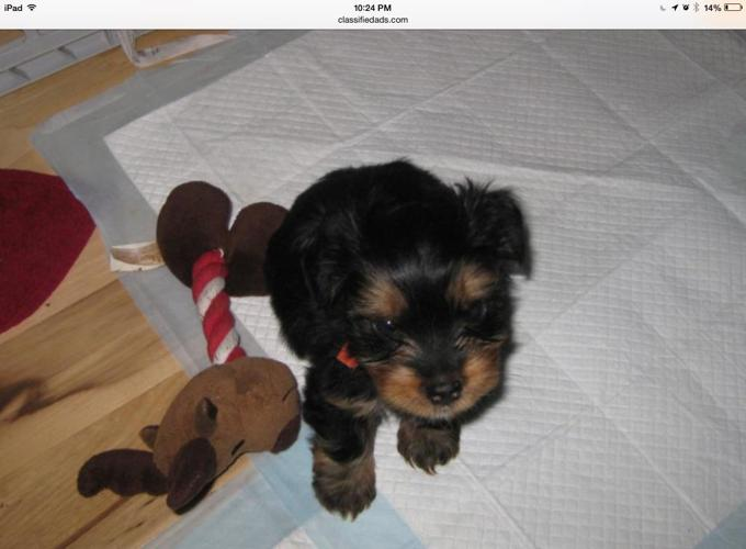 yorkshire terrier for sale mn akc yorkshire terrier puppies for sale for sale in 1193