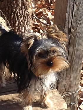 AKC Yorkshire Terrier puppy Ch lines