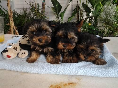 AKC YORKSHIRE Terrier Puppy for sale