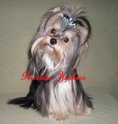 Akc Yorkshire Terrier Teacup Parti Yorkie For Sale In Miami