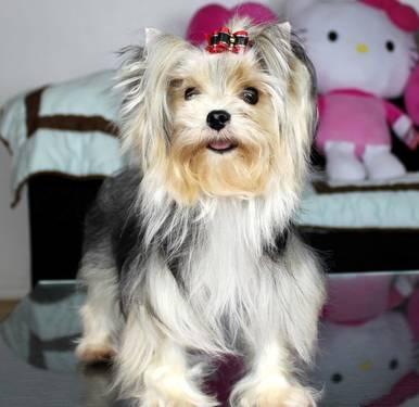AKC Yorkshire Terrier (Yorkie),