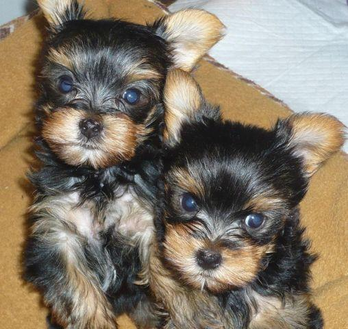 AKC Yorkshire Terrier Yorkie Puppies (2) females 8 wks old Available