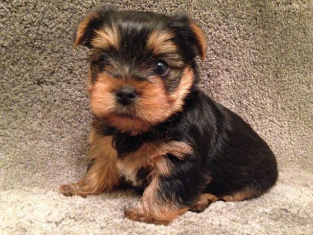 yorkshire terrier for adoption akc yorkshire terrier yorkie puppies puppy for adoption 10 776
